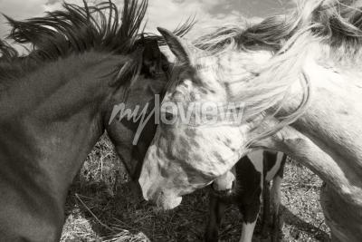 Fototapeta Two horses greeting each other