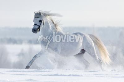 Biały koń galopuje w polu w zimie