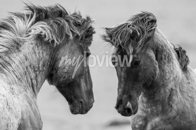 Fototapeta Two horses playfully fighting together