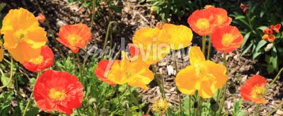 Fototapeta iceland poppies