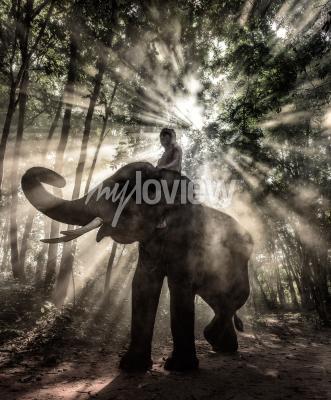 Obraz Mahout at Surin Province Thailand elephant