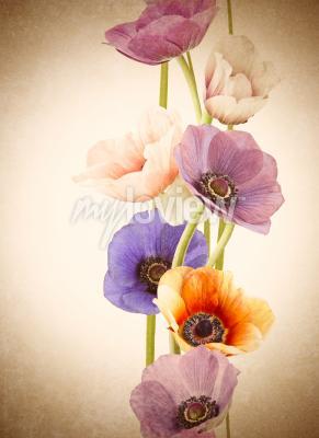 Fototapeta Fresh colorful poppy flowers