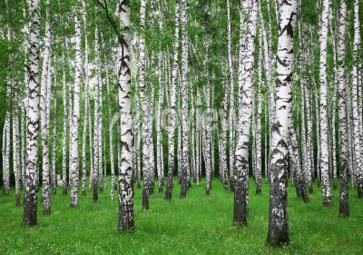 Fototapeta Summer birch forest