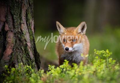 Fototapeta  Fox hunting in europe forest
