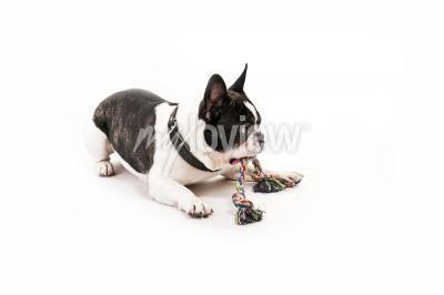 Fototapeta Dog with his toy on white background