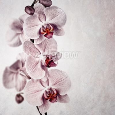 Fototapeta  A delicate pink orchid on faded vintage style background