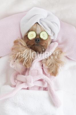 Plakat Yorkshire Terrier Relaxing at the Dog Grooming Spa
