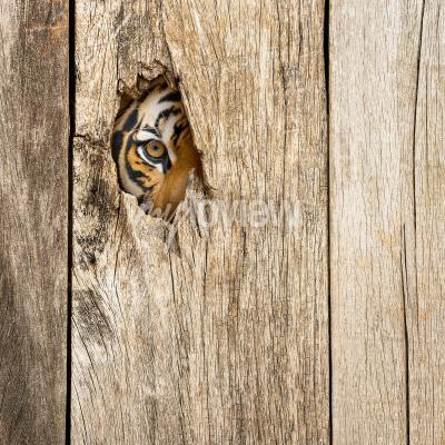 Fototapeta Siberian tiger eye in wooden hole in concept of secretly dangerous