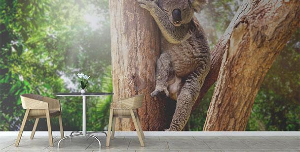 Fototapeta Australia koala