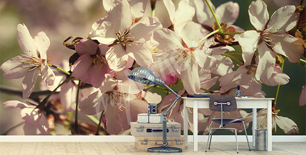 Fototapeta kwiaty wiśni makro