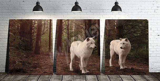 Obraz białe wilki