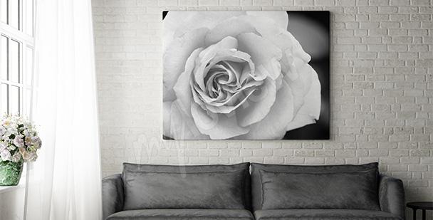 Obraz biały kwiat róży