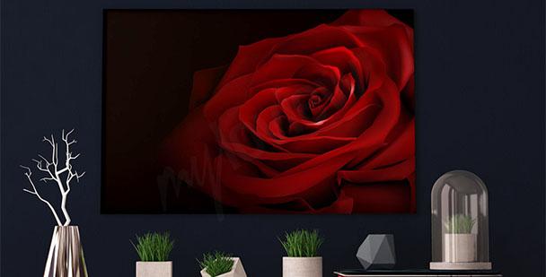 Obraz kwiat czerwonej róży