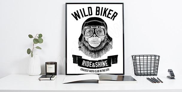 Plakat małpa w motocyklowych goglach